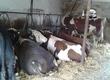 Byki na ubój sprzedam 14 sztuk bydła miesnego