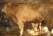 byk simental - oryginał z Instytutu