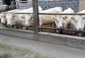 Bydło mięsne Charolaise i Hereford, byczki, jałówki, odsadki