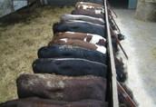 Sprzedam byki mięsne
