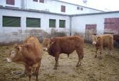 Sprzedam byczki Limousin 35 sztuk