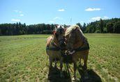 Sprzedam piękne konie rasy haflinger i fryz