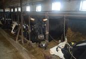 Sprzedam krowy mleczne zacielone - likwidacja stada 16sztuk