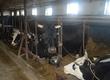 Krowy Sprzedam stado 16 sztuk krów mlecznych