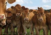 Skup żywca - bydła i trzody