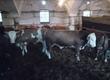 Byki na ubój sprzedam 9szt bydła narazie3szt