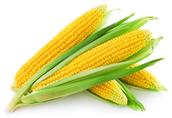 Kukurydza W sprzedaży kwalifikowany materiał siewny kukurydzy...