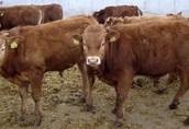 Sprzedam byczki mięsne Limousin 35 sztuk
