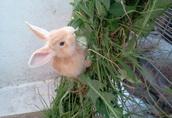 króliki w różnym wieku, mięso królicze