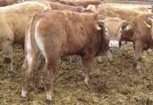 Sprzedam byczki mięsne 35 sztuk