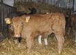 Cielaki i opasy *Sprzedaż cieląt ras mięsnych, mlecznych