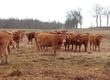 Krowy Selekcja stada Limousine. Do sprzedania
