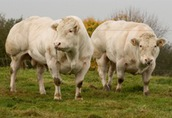 zakup bydła, ubój i sprzedaż mięsa