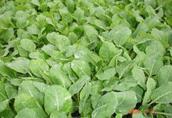 Warzywa Produkuje rozsade warzyw kapusty kalafior broku...