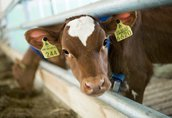 Byki, byczki, cielaki, cielęta, jałówki ras mięsny