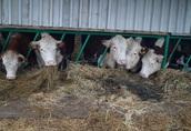 Krowy jałówka stado mięsne hereford