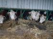 Krowy Sprzedam stado herefordów widoczne