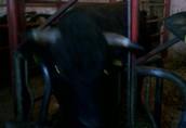 Sprzedam byki