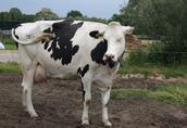 Krowy i pierwiastki z Niemiec i danii