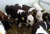 Krowy Jałowki Cielaki byczki ras mięsnych oraz mlecznych