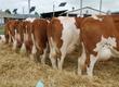 Jałówki Sprowadzam jałówki cielne, krowy