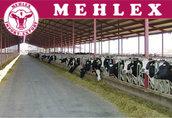 Niemiecka firma oferuje bezpośrednio jałówki mleczne HO HF
