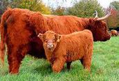 Bydło szkockie Highland