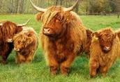 Bydło szkockie Highland  1