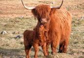 Bydło szkockie Highland  4