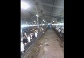 Sprzedam byczki simmentala z Czech i Słowacji