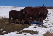 bydło salers - krowa i buhajek