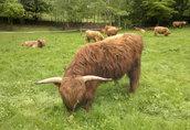 Bydło mięsne Highland cattle