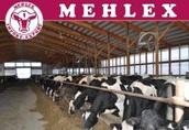 Niemiecka firma oferuje bezpośrednio krowy mleczne HO HF