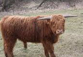 byk - rasy highland
