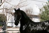 Koń fryzyjski, piękna klacz