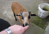 kupię owcę kameruńską sprzedam baranka