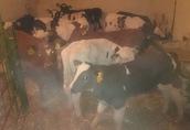 cielaki byczki cielak byczek