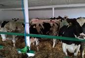 jalowki wysokocielne krowy