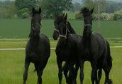 Klacz i ogier fryzyjski konie do adopcji 2