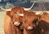 Highland Cattle stado zarodowe
