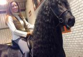 2 konie fryzyjskie do przyjęcia, 1 ogier klacz 1