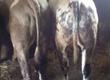 Byki rozpłodowe Sprzedam byka mięsnego do dalszego
