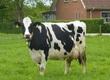 Krowy TIP-FARM- Tanie i Pewne bydło z