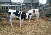 Cielaki i opasy Sprzedam cielęta byczki wiek od 6 do 16 tygodni...