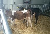 Cielaki i opasy Sprzedam byczki opasy waga 100-120 kg cena od 1450...