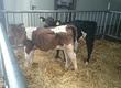 Cielaki i opasy Sprzedam byczki opasy waga 100