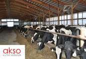 Niemiecki krowy pierwiastki HO HF