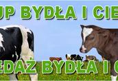 Skup i sprzedaż bydła i cieląt