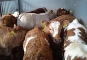 Cielęta cielaki byczki do chowu 1