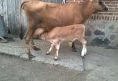 sprzedam krowę mleczną z cielakiem